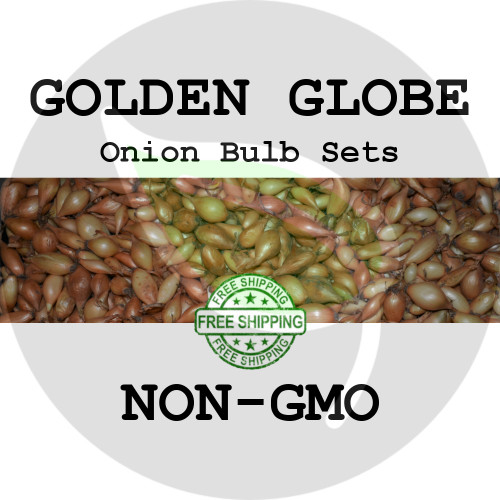 GOLDEN GLOBE Onion Bulb Sets (Yellow) - NON-GMO Seed Onions - Stock Photo