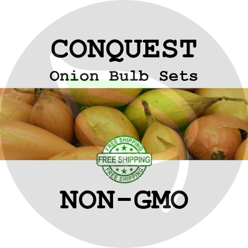 Spring & Fall Conquest Onion Bulb Sets (Yellow) - NON-GMO Seed Onions - Stock Photo