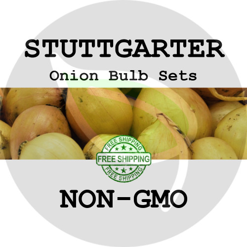 Spring & Fall Stuttgarter Onion Bulb Sets (Yellow) - NON-GMO Seed Onions - Stock Photo