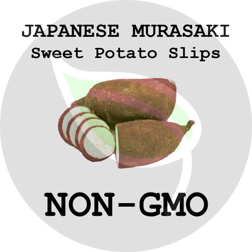 Japanese Murasaki Red - SWEET POTATO SLIPS, ORGANIC, NON-GMO - Stock Photo