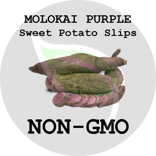 Purple Molokai - SWEET POTATO SLIPS, ORGANIC, NON-GMO - Stock Photo