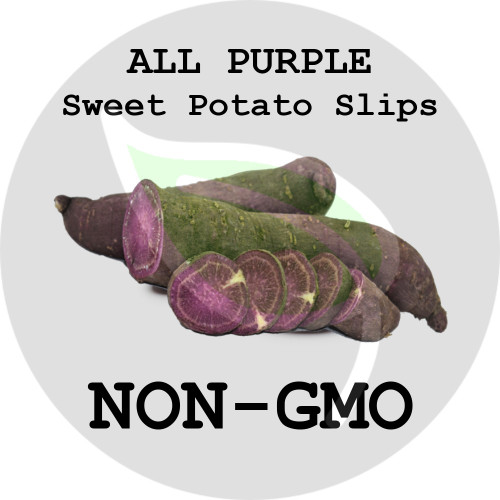 All Purple - SWEET POTATO SLIPS, ORGANIC, NON-GMO - Stock Photo