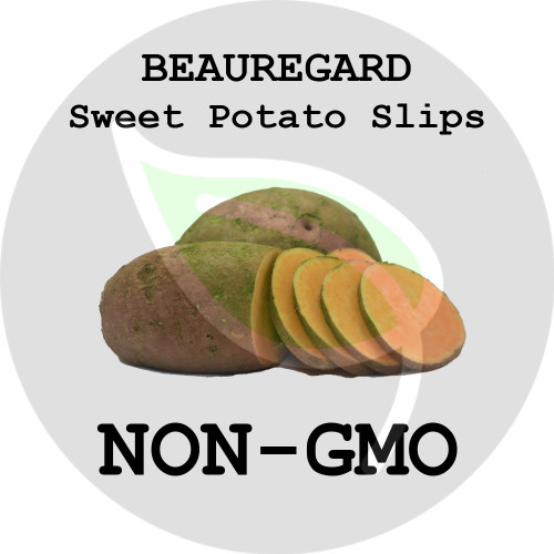 Beauregard Orange - SWEET POTATO SLIPS, ORGANIC, NON-GMO - Stock Photo