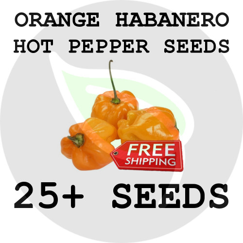 ULTRA HOT PEPPER SEEDS - Orange Sunshine Habanero, 25+ Seeds, USA - Organic Stock Photo