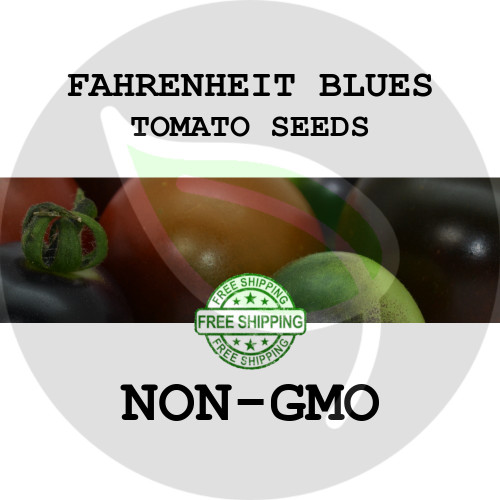 TOMATO SEEDS - Fahrenheit Blues, 30+ Heirloom Organic Seeds, USA - Organic Stock Photo