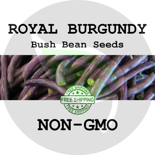 ROYAL BURGUNDY BUSH BEAN SEEDS (Purple) - 4 oz. + Heirloom Organic Seeds, USA - Organic Stock Photo