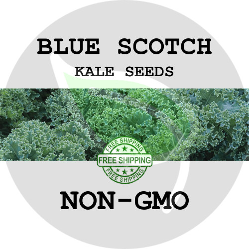 KALE SEEDS - Blue Scotch, 1/8 oz. + Heirloom Organic Seeds, USA - Organic Stock Photo