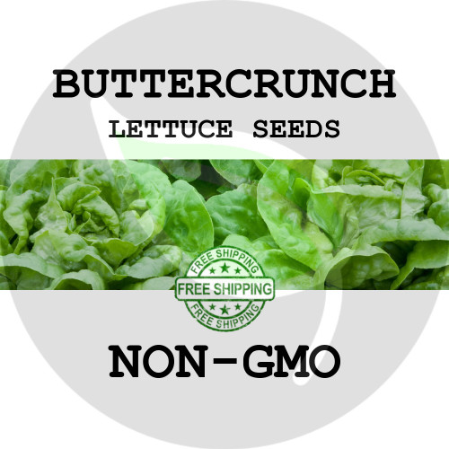 LETTUCE SEEDS - Buttercrunch (Butterhead), 1/8 oz. + Heirloom Organic Seeds, USA - Organic Stock Photo
