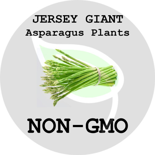 Jersey Giant ASPARAGUS PLANTS - 5+ Heirloom Organic Crowns (Plants, Roots), USA - Organic Stock Photo