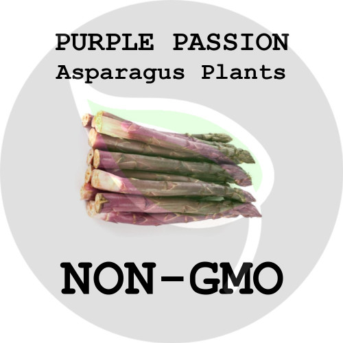 Purple Passion ASPARAGUS PLANTS - 5+ Heirloom Organic Crowns (Plants, Roots), USA - Organic Stock Photo