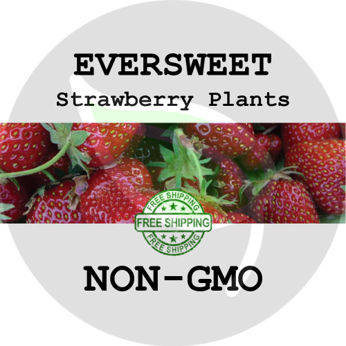 EVERSWEET STRAWBERRY PLANTS - 5+ Heirloom Organic Plants (Crowns, Roots), USA - Organic Stock Photo