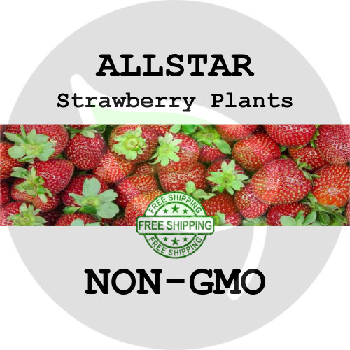 ALLSTAR STRAWBERRY PLANTS - 5+ Heirloom Organic Plants (Crowns, Roots), USA - Organic Stock Photo