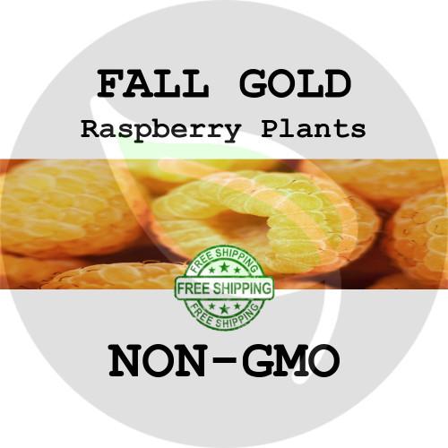 FALL GOLD RASPBERRY PLANTS - 2+ Heirloom Organic Plants (Canes, Roots), USA - Organic Stock Photo of Raspberries