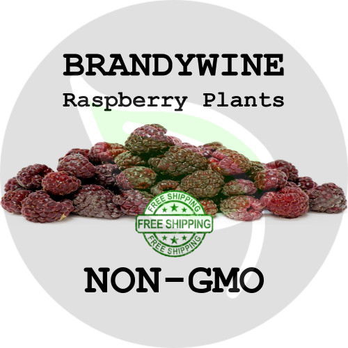 BRANDYWINE RASPBERRY PLANTS - 2+ Heirloom Organic Plants (Canes, Roots), USA - Organic Stock Photo of Raspberries