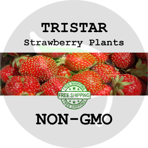TRISTAR STRAWBERRY PLANTS -  5+ Heirloom Organic Plants (Crowns, Roots), USA - Organic Stock Photo