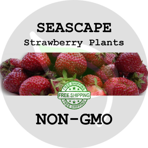 SEASCAPE STRAWBERRY PLANTS - 5+ Heirloom Organic Plants (Crowns, Roots), USA - Organic Stock Photo