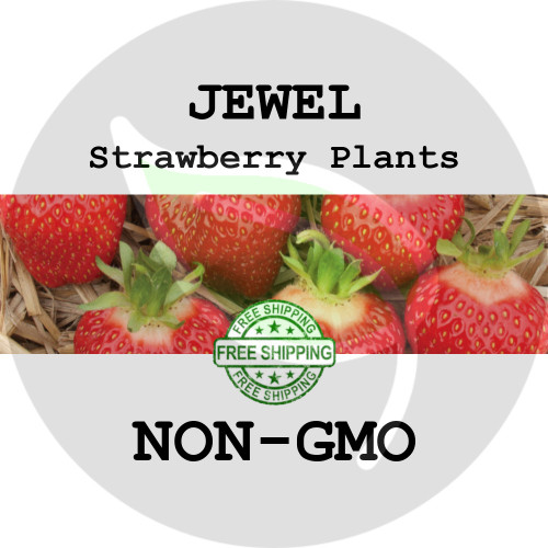 JEWEL STRAWBERRY PLANTS - 5+ Heirloom Organic Plants (Crowns, Roots), USA - Organic Stock Photo