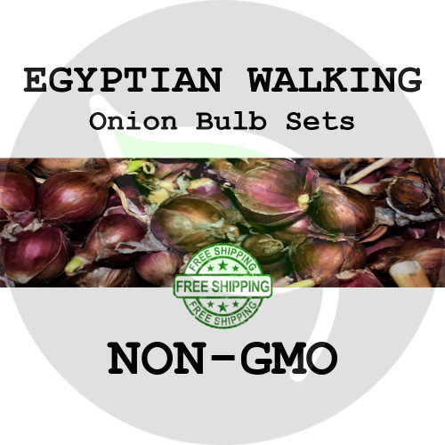 Spring & Fall Egyptian Walking Onion Bulb Sets - NON-GMO Seed Onions - Stock Photo