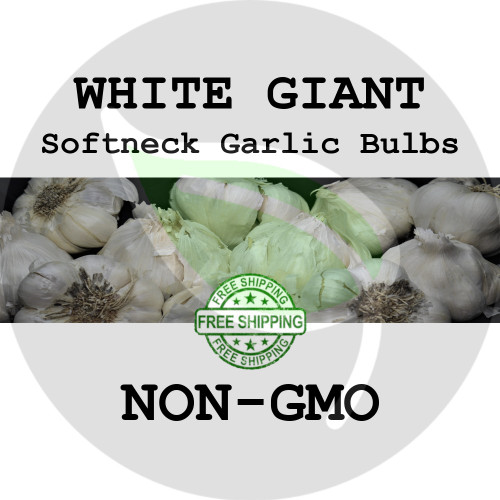 White Giant Softneck Garlic For Sale - NON-GMO Cloves, Bulbs For Seed - Stock Photo Bulk