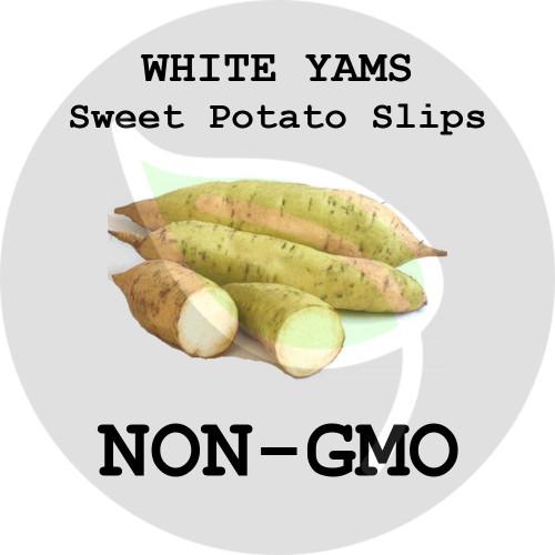 White Yams - SWEET POTATO SLIPS, ORGANIC, NON-GMO - Stock Photo
