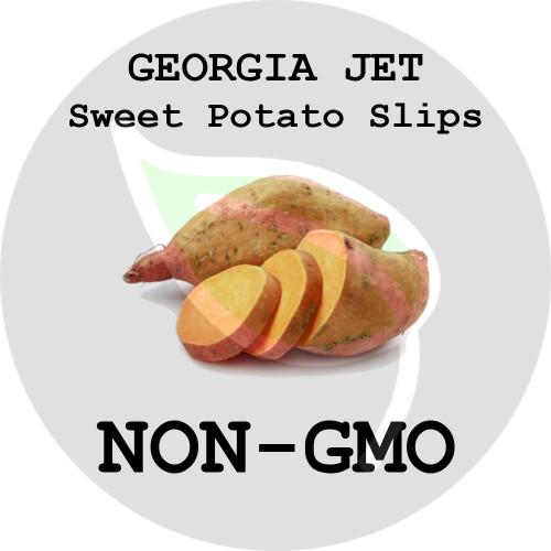 Georgia Jet Orange - SWEET POTATO SLIPS, ORGANIC, NON-GMO - Stock Photo