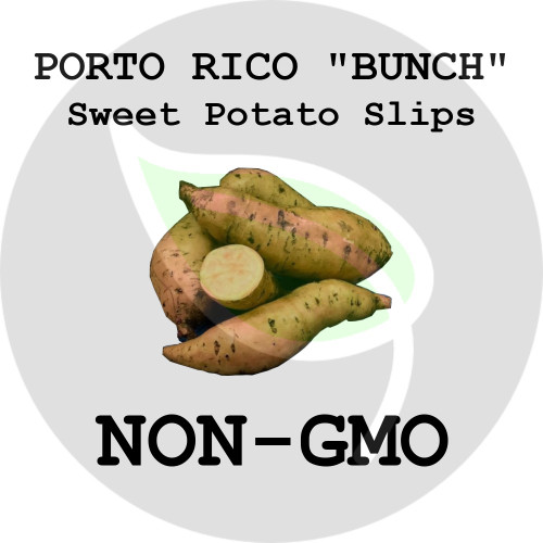 "Porto Rico ""Bunch"" - SWEET POTATO SLIPS, ORGANIC, NON-GMO - Stock Photo"