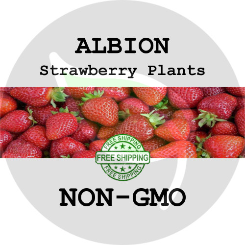 ALBION STRAWBERRY PLANTS - 5+ Heirloom Organic Plants (Crowns, Roots), USA - Organic Stock Photo