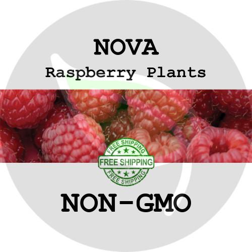 NOVA RASPBERRY PLANTS - 2+ Heirloom Organic Plants (Canes, Roots), USA - Garden Harvest Raspberries