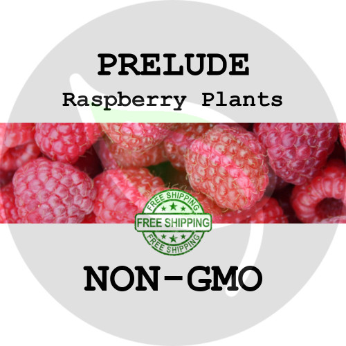 PRELUDE RASPBERRY PLANTS - 2+ Heirloom Organic Plants (Canes, Roots), USA - Garden Harvest Raspberries