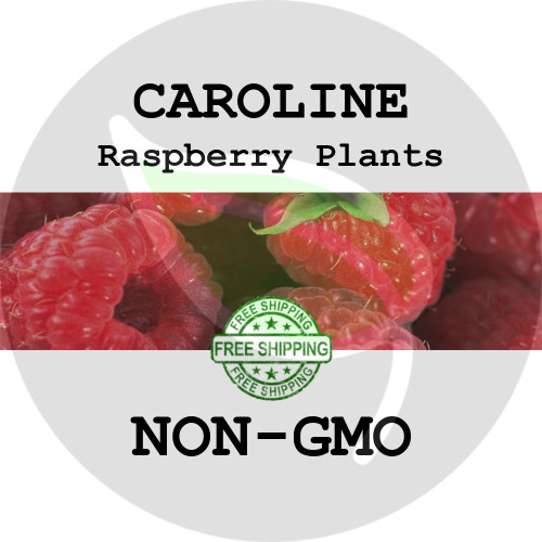 CAROLINE RASPBERRY PLANTS - 2+ Heirloom Organic Plants (Canes, Roots), USA - Garden Harvest Raspberries