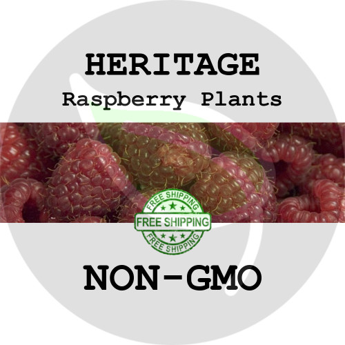 HERITAGE RASPBERRY PLANTS - 2+ Heirloom Organic Plants (Canes, Roots), USA - Garden Harvest Raspberries