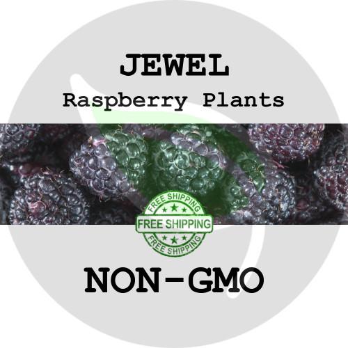 JEWEL RASPBERRY PLANTS - 2+ Heirloom Organic Plants (Canes, Roots), USA - Garden Harvest Raspberries