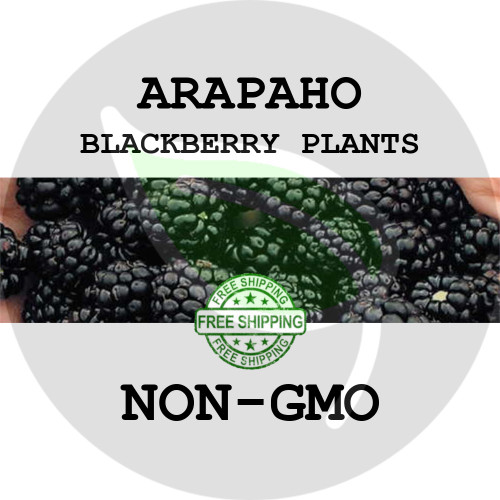 BLACKBERRY PLANTS - Arapaho, 2+ Heirloom Organic Plants (Canes, Roots), USA - Organic Stock Photo of thornless blackberries