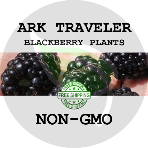 BLACKBERRY PLANTS - Ark Traveler, 2+ Heirloom Organic Plants (Canes, Roots), USA - Organic Stock Photo of thornless blackberries
