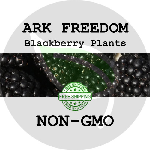 BLACKBERRY PLANTS - Ark Freedom, 2+ Heirloom Organic Plants (Canes, Roots), USA - Organic Stock Photo of thornless blackberries
