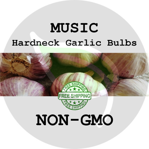 MUSIC GARLIC FOR SALE (HARDNECK PORCELAIN)   - NON-GMO Cloves, Bulbs For Seed - Stock Photo Bulk