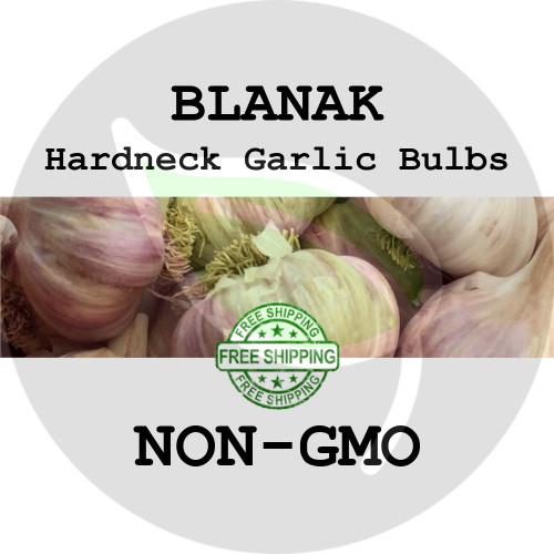 BLANAK GARLIC FOR SALE (HARDNECK ROCAMBOLE)   - NON-GMO Cloves, Bulbs For Seed - Stock Photo Bulk