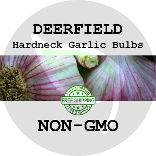 DEERFIELD PURPLE GARLIC FOR SALE (HARDNECK PURPLE STRIPE)  - NON-GMO Cloves, Bulbs For Seed - Stock Photo Bulk