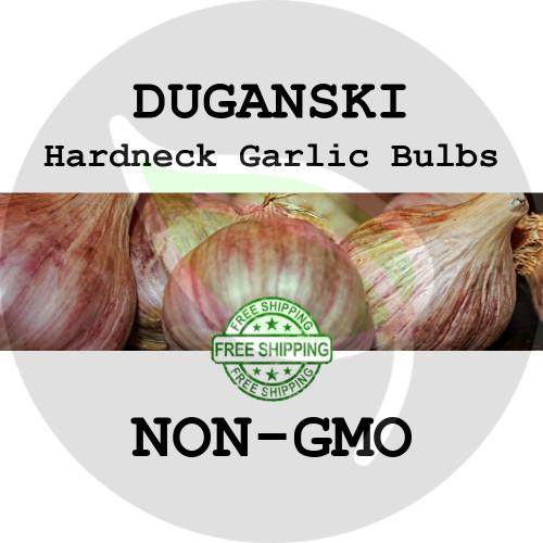 DUGANSKI PURPLE GARLIC FOR SALE (HARDNECK PURPLE STRIPE)  - NON-GMO Cloves, Bulbs For Seed - Stock Photo Bulk