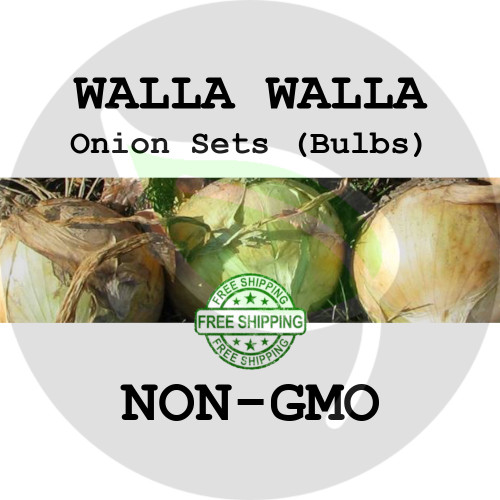 WALLA WALLA SWEET Onion Bulb Sets (Yellow) - NON-GMO Seed Onions - Stock Photo