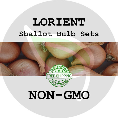 Lorient Traditional Shallot Sets For Sale - NON-GMO Bulbs For Seed - Stock Photo Bulk