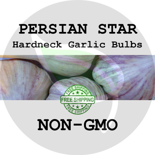 PERSIAN STAR GARLIC FOR SALE (HARDNECK MARBLED PURPLE STRIPE)   - NON-GMO Cloves, Bulbs For Seed - Stock Photo Bulk