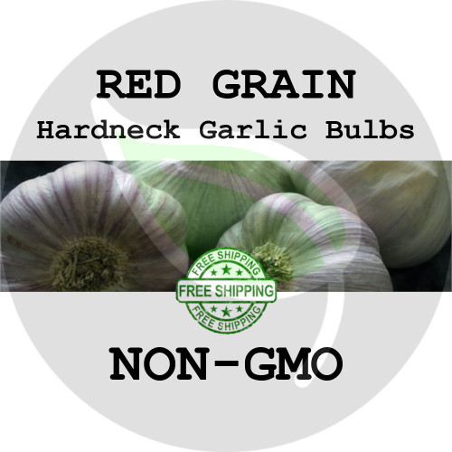 RED GRAIN GARLIC FOR SALE (HARDNECK PURPLE STRIPE)   - NON-GMO Cloves, Bulbs For Seed - Stock Photo Bulk