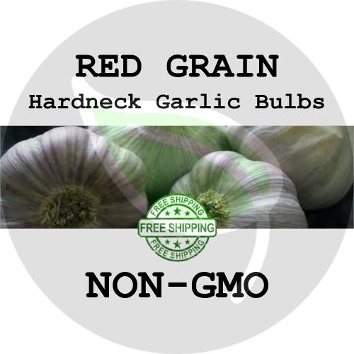 RED GRAIN GARLIC FOR SALE (HARDNECK PURPLE STRIPE)   - NON-GMO Cloves, Bulbs For Seed - Stock Photo Bulk