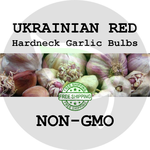 UKRAINIAN RED GARLIC FOR SALE (HARDNECK ROCAMBOLE)   - NON-GMO Cloves, Bulbs For Seed - Stock Photo Bulk