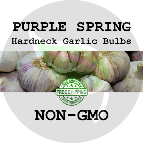SPRING GARLIC FOR SALE (HARDNECK PURPLE)   - NON-GMO Cloves, Bulbs For Seed - Stock Photo Bulk