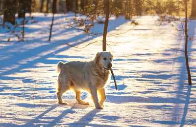 Taking care of your dog's paws in the cold weather