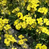Spotlight on: Perennial Wallflowers (Erysimum)