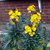 Erysimum 'Bowles's Yellow' - Hardy Plant Society Endangered Plant