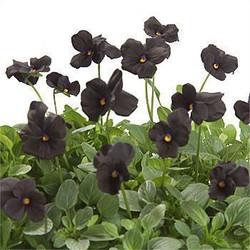 Black and White Violas